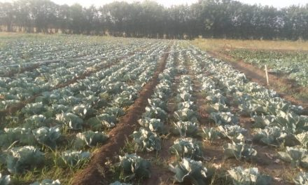 BASAVANNA'S CAULIFLOWER FIELDS: Madhbhavi village, Vijaypura district